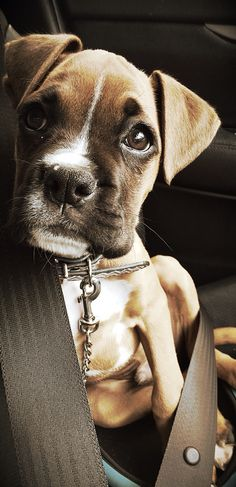 Very nice puppy #boxer