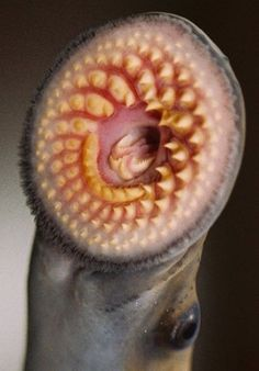 Close up of the adult sea lamprey's jawless, suction-cup like mouth and its circles of rasping teeth and toothed tongue.