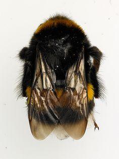 Bumblebee Queen