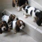 compra venta cachorros perros de raza Basset hound hembras y machos  Visítenos ya en: http://www.SPACEANIMALS.com.mx Atención al cliente (01) (229) 2.60.31.86 / (01) (229) 2.98.48.78 Síguenos en: http://www.Facebook.com/Spaceanimals.Criadero  http://wwwTwitter.com/@Spaceanimals Criadero ambién te recomendamos Visitar http://www.VentadePerros.com.mx