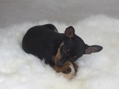 Dora Perry - Cutest (and naughtiest!) Min Pin ever!