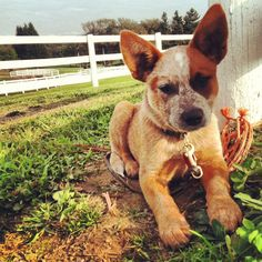 Australian Cattle Dog. So precious.