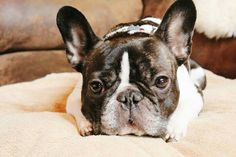 'That Face', French Bulldog.