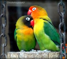 Eye Ring And Masked Lovebirds Agapornis Personatus Looking After Each Other African Lovebirds