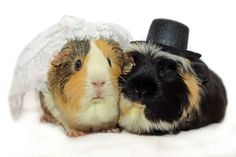 "Guinea Pig Photo Shoot for ""Save the Date"" by http://www.reddit.com/user/guineapigsarethebest"