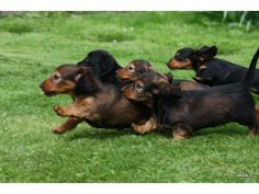 Short and Long-haired dachshund puppies! Dachshund Funny, Dachshund Puppies, Dachshund Love, Funny Dogs, Cute Puppies, Cute Dogs, Dogs And Puppies, Daschund, Standard Dachshund