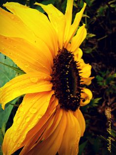 Raindrop Sunflower