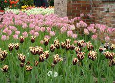 Tulips at Van Lierop Bulb Farms, Puyallup, WA