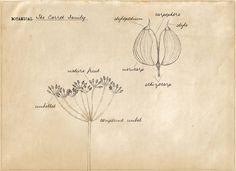 Basic Botany: The Carrot Family