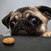Фото с прикольным мопсом, который увидел печеньку #картинки#фото#животные#собаки#мопс#голод#взгляд#голодныйвзгляд#приколы