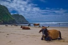 "Cows on the beach at Coffee Bay in South Africa. An Eastern Cape gem, this beach is all about getting away from it all. Famous for being the ""biggest"" village near to the even more famous Hole-in-the-Wall rock formation South Afrika, Secluded Beach, Earth From Space, Red Sea, Greatest Adventure, East London, Africa Travel, Pictures To Paint, Nature Photos"
