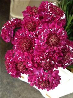 Scabiosa 'Raspberry Scoop'...Sold in bunches of 10 stems from the Flowermonger the wholesale floral home delivery service.