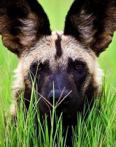 animalfactsencyclopedia-African-wild-dog-facts