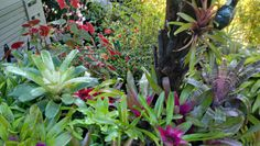 Vriesea Tasman hybrid on the left above a Neoregelia Lorena moving right across a collection of broms in front for a punga and begonias in the read... ah autumn colour.