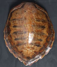 Tortoise Shell we had one of these growing up, we played with it when mom wasn't around, putting it on our backs like we were tortoises, so much fun;-))