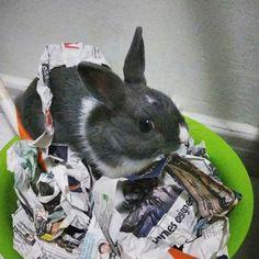 Play time = Dig 🐇 MBR  #rabbit #bunnies #webstapets #rabbitgram #cuteanimals  #dwarfrabbit  #animalgram #netherlanddwarf #rabbitofinstagram #rabbitoftheday #misterbluerabbit #mbr #cuteanimals #photoofday #instarabbit #instagood #pet #petworld #animalphotography #petstagram #babyanimals #cutepetclub #bunnystagram  #kawaii  #instapet #fabbunnies #rabbitworldwide #rabbitstagram @babyanimalshq @babyanmlpage @cutestthingsthereis #babyanimalpets  #animaladdicts