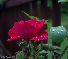 more rain drops on a rose ...