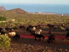 Cabras en Toledo (Tenerife Sur - Granadilla de Abona) #animals #goats #sex
