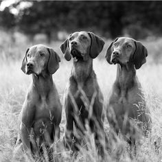 Hungarian Vizsla dogs ..I eventually want 3 of these. Wonderful dogs for active owners.
