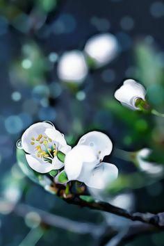 #drawing #painting #wedding #photography #garden #decoration #poster #wallpaper #background #art #photo about life #omenapuunkukkia #kaunis #valokuva #maalaus #taide #juliste #seinälle #apple tree flowers