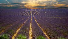 A Lavender field close to Revest-du-Bion, Haute-Provence, France. I have been seeing pictures of the Lavender fields in France since I was a kid and would love to be able to finally see them in person!