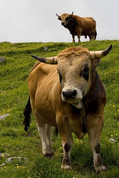 The Spanish Bull(s) - Picos de Europa, Asturias Cycling Holiday, Weapon Of Mass Destruction, Cute Cows, Pyrenees, Zoology, Fauna, Country Of Origin, Cattle, Farm Animals