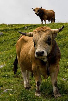 The Spanish Bull(s) - Picos de Europa, Asturias