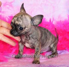 Colter - Brindle tiny Chihuahua puppy with nice big applehead and big eyes  www.chihuahuasforsale.net  Fancy Paws Puppies & Boutique