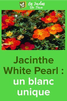 Jacinthe White Pearl : un blanc unique – Best Pins Live