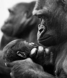 Primates ~ sweet moment between Mama .....
