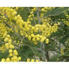 Acacia Dealbata, Hardy Plants, Bluish Gray, Live Plants, Bright Yellow, Yellow Flowers, Shrubs, Landscape, Spring