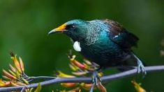 Birds of New Zealand. Photo by Chris Helliwell. Tui Bird, Honor System, Birds 2, Birds Eye View, Pretty Art, Beautiful Birds, Painting & Drawing, New Zealand, Wildlife