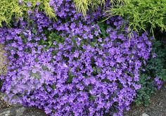 Buy dalmatian bellflower Campanula portenschlagiana: Delivery by Waitrose Garden in association with Crocus Landscaping Plants, Garden Plants, Sarah's Garden, Types Of Flowers, Purple Flowers, Flora, Garden Borders, Creepers, Gardens