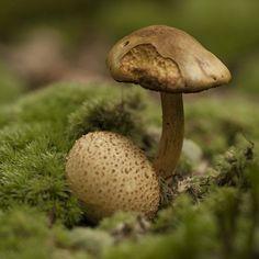 #mushroom #mycology #fungi #fungus #paddenstoelen #natuur #macro #microworld #netherlands
