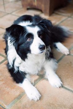 Astounding Border Collie Dog Tips Ideas Border Collie Training, Border Collie Welpen, Border Collie Colors, West Highland Terrier, Border Collie Puppies, Herding Dogs, Mundo Animal, Puppy Breeds, Training Your Dog