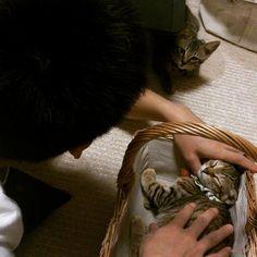 「#きじとら#キジトラ#ネコ#ねこ#子猫 #cat  昔から嫉妬深くて、くーちゃん撫でてると、どっかで見張ってたとら吉。」