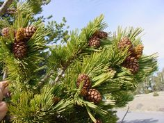Pinus Albicaulis, Whitebark Pine, Scrub Pine, Creeping Pine (fehérkérgű fenyő)