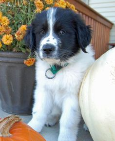 via the daily puppy  Puppy Breed: Great Pyrenees / Newfoundland  My name is Jasper and I was born on August 29. My dad is Newfoundland and my mom is a Great Pyrenees. I often get teased that I look like a cow and will be the same size as one, so silly. I was born in northern Minnesota. With this thick coat of fur, I love the cold weather. Just had my first taste of snow and I loved it. It tastes great and keeps me cold. I have 2 loving parents and 3 little friends who play with me all the time.