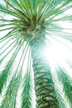 PALMERA. uno de mis árboles favoritos.