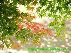 Japanese maple of green & autumn colors