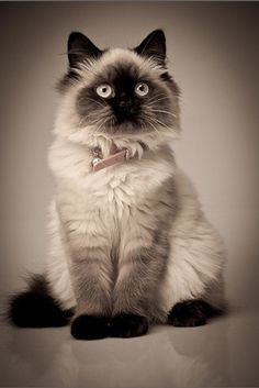Find images and videos about cute, vintage and cat on We Heart It - the app to get lost in what you love. Pretty Cats, Beautiful Cats, Animals Beautiful, Cute Animals, Pretty Kitty, Animals Images, Hello Beautiful, Himalayan Persian Cats, Himalayan Cat