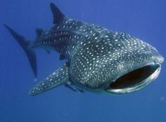 Whale shark facts present the information about the one of the biggest underwater animals. When you hear the word shark on the beach, you will be afraid that the shark will eat you. Many people avoid Whale Shark Facts, Swimming With Whale Sharks, Big Shark, Maldives Tour, Maldives Cruise, Ocean Creatures, Shark Week, Images Google, Marine Biology