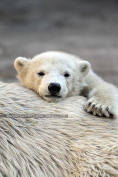 Little polar bear cub having a rest at his mom`s back by Sergey Skleznev on 500px