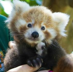 Two seven-week-old endangered Red Panda cubs had their first visit to the veterinarian at Australia's Perth Zoo. Though the zoo staff has kept a watchful eye on the cubs since their December 8 birth, this is the first time the. Newborn Animals, Cute Baby Animals, Animals And Pets, Crazy Animals, Zoo Animals, Animal Room, Beautiful Cats, Animals Beautiful, Panda Love