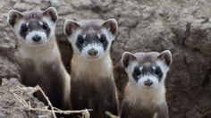 Recovery: Hope for Black-Footed Ferrets, One of Our Most Endangered Mammals. Black-footed ferrets (Mustela nigripes). Photo © Kimberly Fraser/USFWS