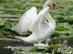 que dire , la nature est belle Beautiful Swan, Beautiful Birds, Baby Animals, Cute Animals, The Last Summer, Pond Life, Swan Song, Ugly Duckling, Lily Pond