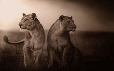 Lionesses Readying to Hunt, Nick Brandt