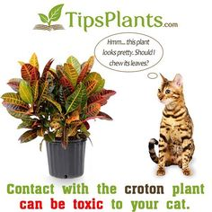 Is the Croton plant really dangerous to your cat? http://ift.tt/1M4Uh7e