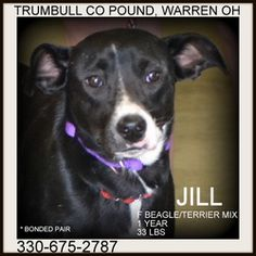 URGENT!!! JILL!!!>>>WARREN, OHIO>>>Jill (bonded with Jack) URGENT!!! is an adoptable Beagle Dog in Warren, OH. Jack and Jill are a bonded pair, found abandoned together.  They are both such wonderful dogs....enjoy people, and love each...