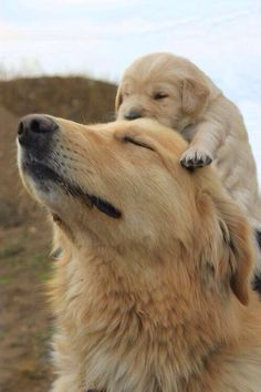 "Golden retriever.  ""Thanks for the piggy-back ride Daddy"""